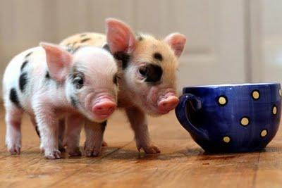 Cerdo vietnamita colores