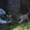Los tres tigres de Bengala que nacieron en agosto pasado en cautiverio en el zoológico La Aurora, en la Ciudad de Guatemala, con su madre, Romina. EFE