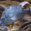 pez feo y viejo