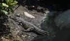 Los 21 caimanes liberados en la laguna cercana al río Tomo tienen un tamaño que varía entre los 82 y 170 centímetros de largo. EFE/Archivo