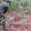 Erradicación manual de cultivos de coca. Foto: Fuerza de Tarea Conjunta Omega.