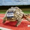 Fotografía facilitada por Guinness World Records de Bertie, la tortuga más veloz del mundo con una velocidad máxima de 1 kilómetro por hora, nuevo récord Guinnes conseguido el pasado 9 de julio de 2014. EFE