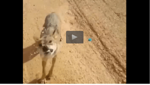 lobo desierto