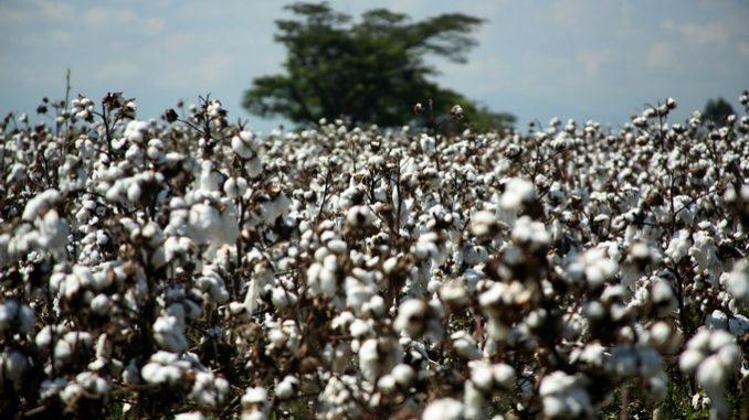 Cultivo de algodón genéticamente modificado, en Rodanillo, Valle