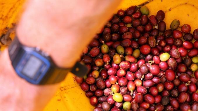 Producción de café cayó 9% en junio