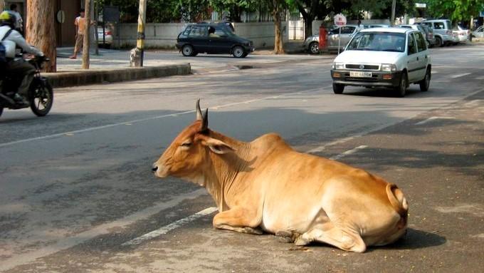 ¿Está prohibido comer animales domésticos en Europa? Vaca_india