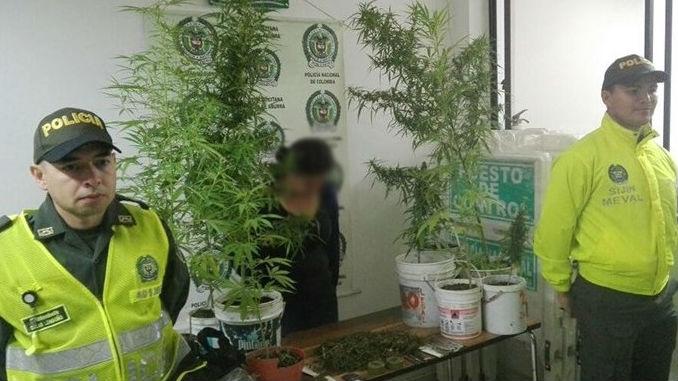 Por cultivar para presuntamente traficar fue capturada una mujer en su residencia con varias plantaciones de marihuana y una parte procesada