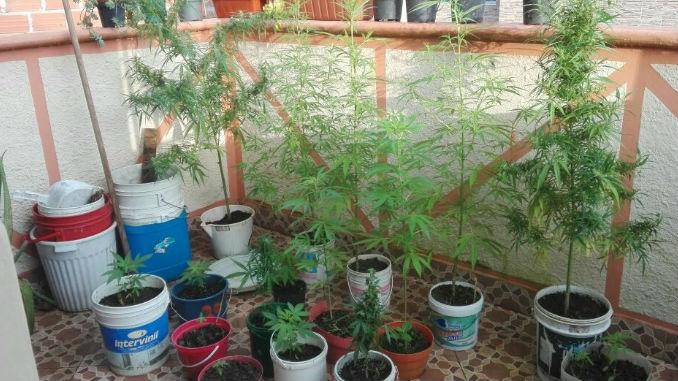 Cultivo_Marihuana_2