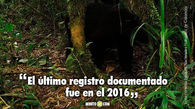 Oso de Anteojos fue avistado en Parque Nacional Natural Las Orquideas