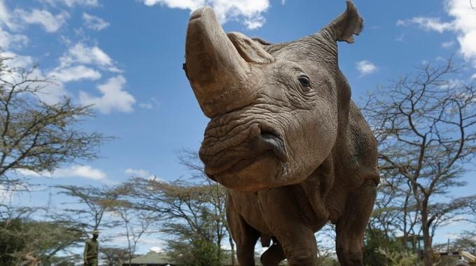 Fotografía del último rinoceronte blanco del norte macho, llamado Sudán. EFE/Archivo