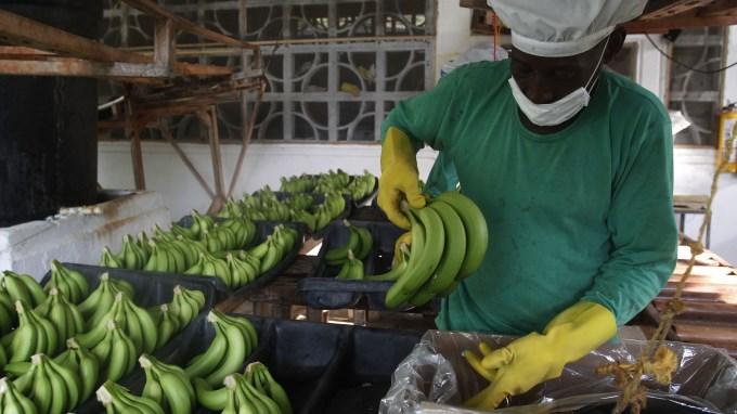 banano colombia