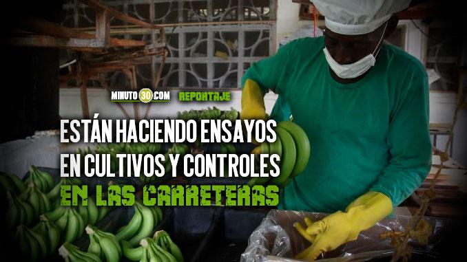 Autoridades en Antioquia investigan si hay presencia del hongo que afecta los cultivos de banano
