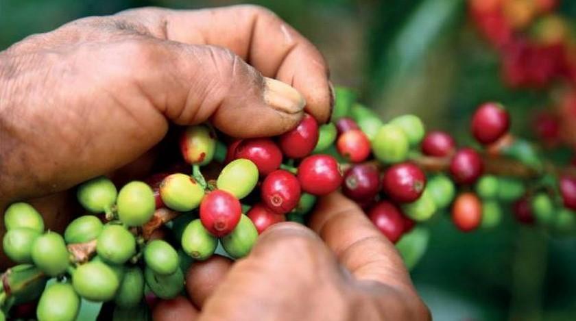 cafe cultivos