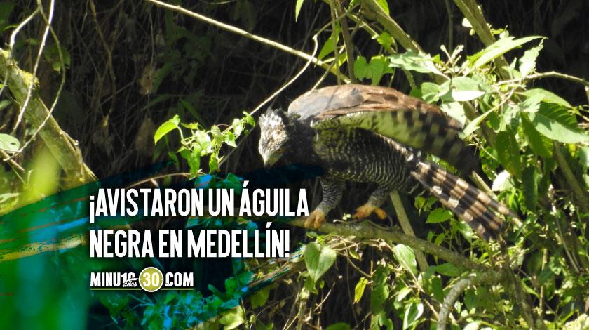Aguila negra iguanera registrada en Medellin 4