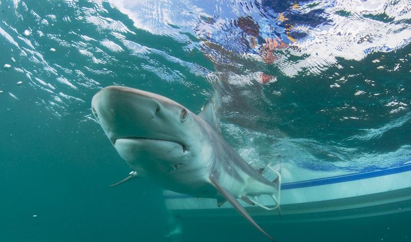 Alertan de que los tiburones pueden ser víctimas masivas de la COVID-19