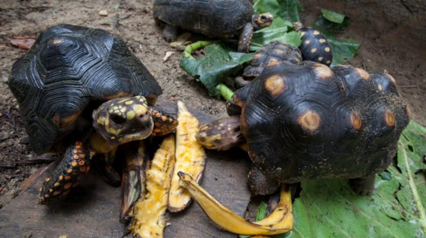 Tortugas morrocoy liberadas en el Magdalena Medio Antioquia