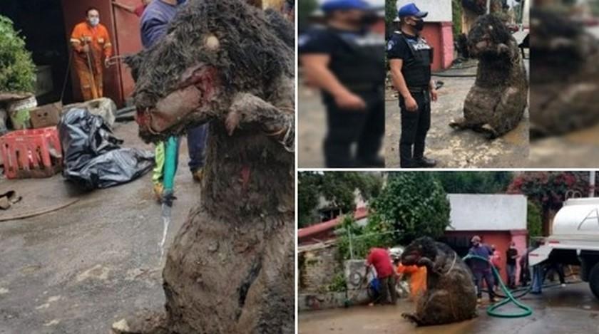'Rata' gigante en México