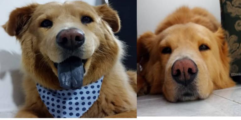 """""""Toby"""" será el primer perrito al que se le implantará un marcapasos en Colombia"""